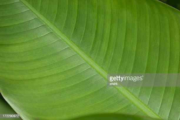 Close-up of a Banana Leaf 1