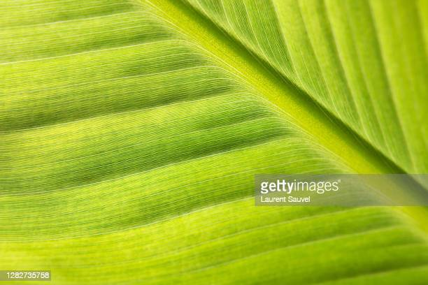 close-up of a banana tree leaf in macrophotography - laurent sauvel photos et images de collection