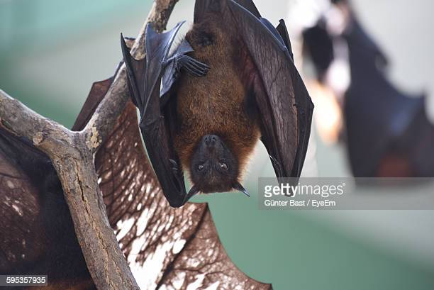 Close-Up Of A Bat Hanging On Branch