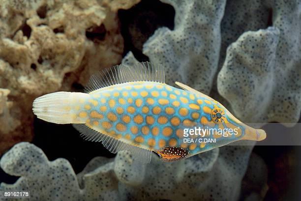 Closeup of a Beaked Leatherjacket fish swimming underwater