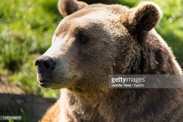 close-up of a bear looking away - jennifer reed stock pictures, royalty-free photos & images