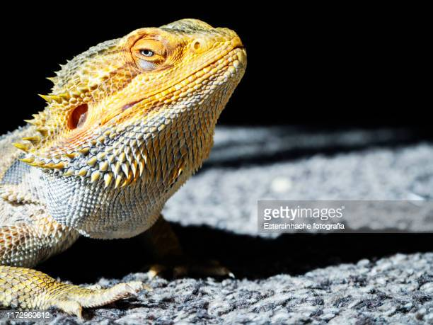 close-up of a bearded dragon looking at camera - land iguana imagens e fotografias de stock