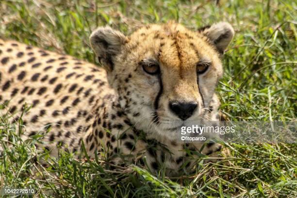 Close-up of a beautiful Cheetah resting