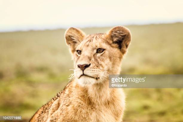 close-up of a beautiful lion cub watching - arusha national park stock photos and pictures
