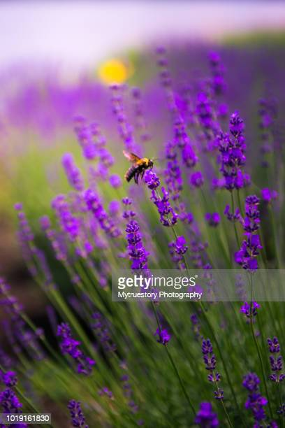 Close-up of a bee in lavender field in Japan