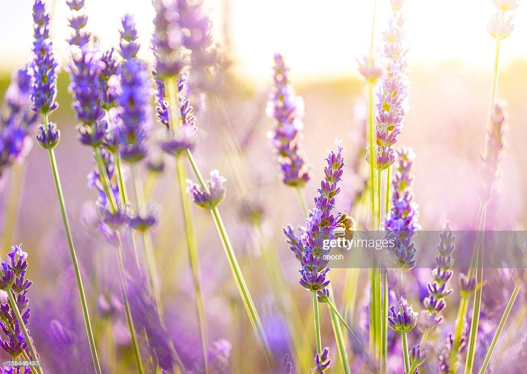 Nahaufnahme einer Biene in – Lavendelfeld in der Provence, Frankreich. : Stock-Foto