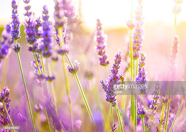 close-up of a bee in lavender field in provence, france. - purple stock pictures, royalty-free photos & images