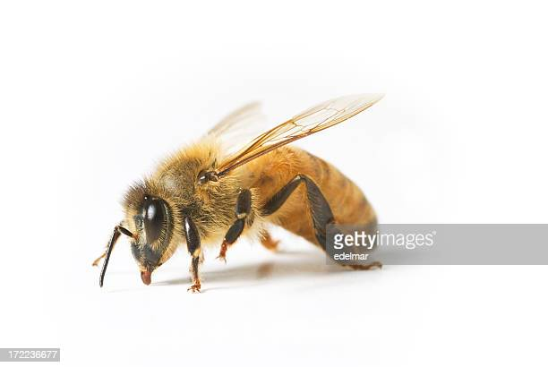 A close-up of a bee on a white background