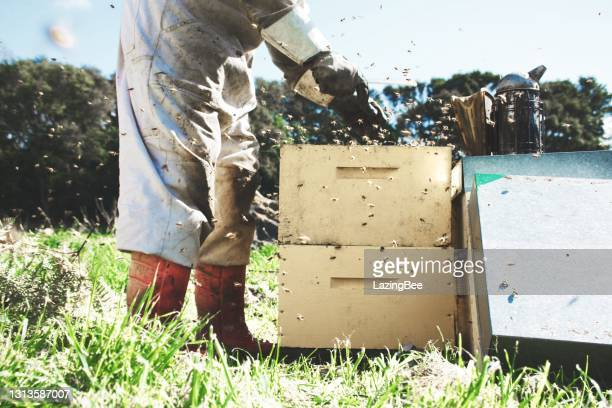 close-up of a beekeeper checking on a beehive in spring - beehive new zealand stock pictures, royalty-free photos & images