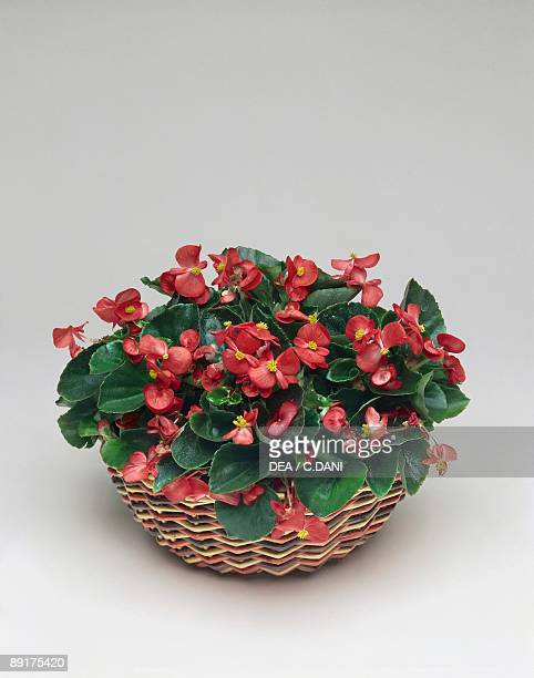 Close-up of a Begonia semperflorens plant in a wicker basket