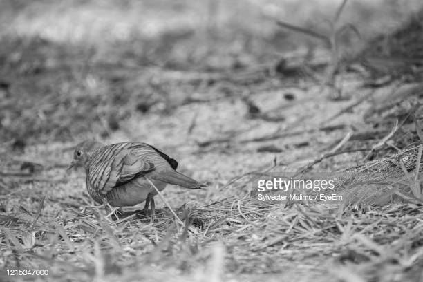 close-up of a bird on field - black and white instant print stock pictures, royalty-free photos & images