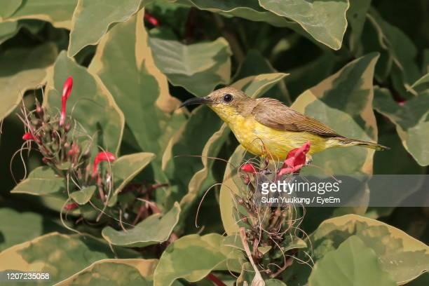 close-up of a bird perching on plant - nightingale stock pictures, royalty-free photos & images