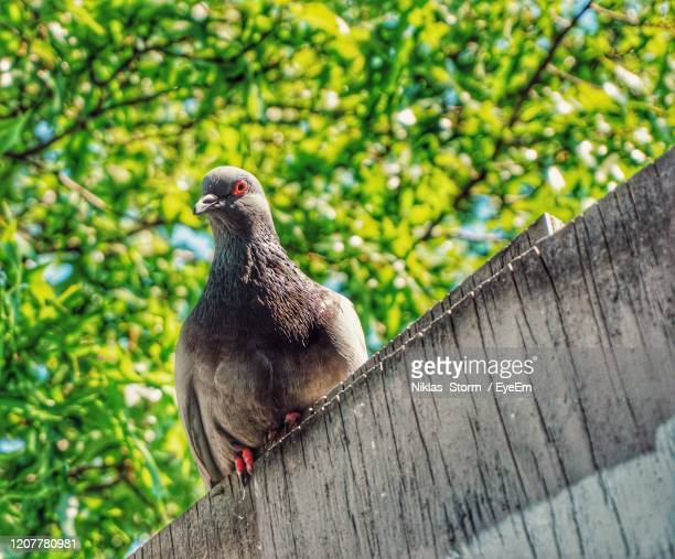 close-up of a bird perching on wood - pigeon stock pictures, royalty-free photos & images