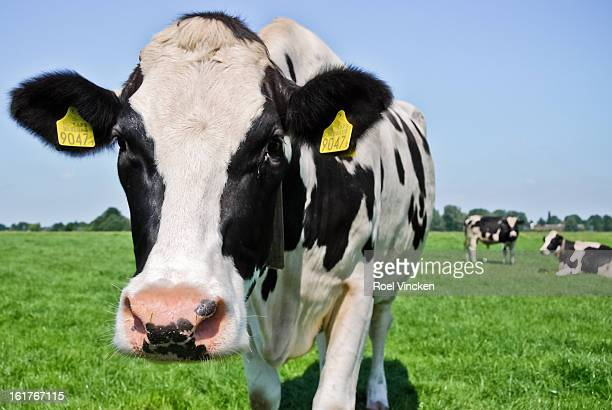CONTENT] Closeup of a black and white Cow looking into the camera with two cows in the background standing and lying on the green grass