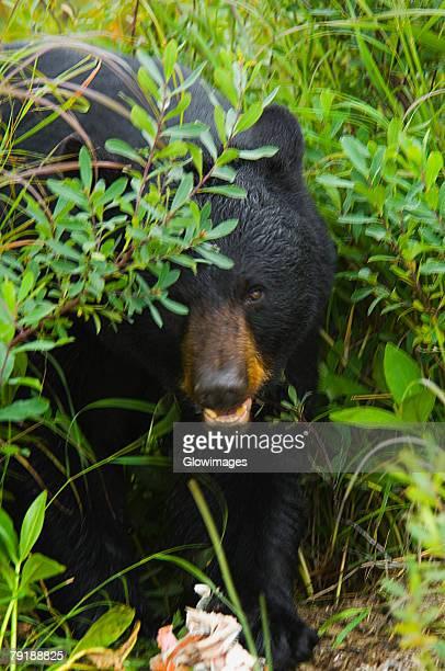 Close-up of a Black bear (ursus americanus)