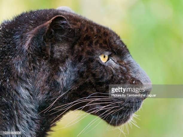 Close-up of a black leopard
