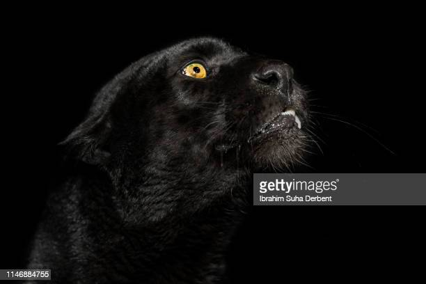 close-up of a black leopard while it is looking up - black panther face stock photos and pictures