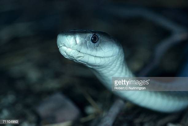 close-up of a black mamba (dendroaspis polylepis) - black mamba stock photos and pictures