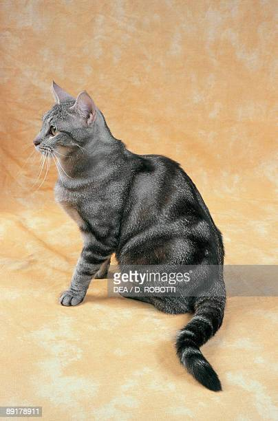 Closeup of a Black Silver Blotched Tabby cat