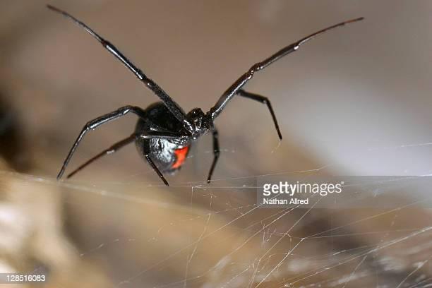 Close-up of a Black widow spider
