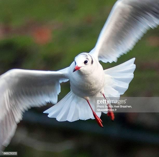 Close-up of a Black-headed Gull in flight