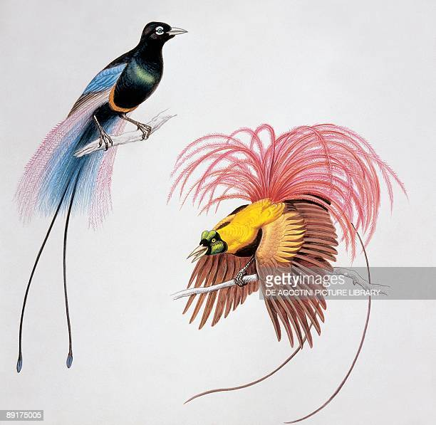 Closeup of a blue bird of paradise with a red bird of paradise
