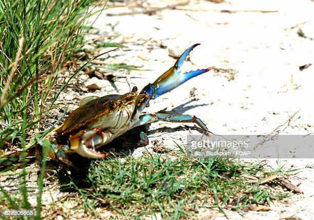 close-up of a blue crab - blue crab stock photos and pictures