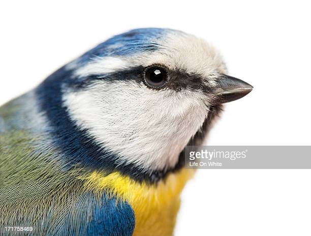 close-up of a blue tit, cyanistes caeruleus - snavel stockfoto's en -beelden