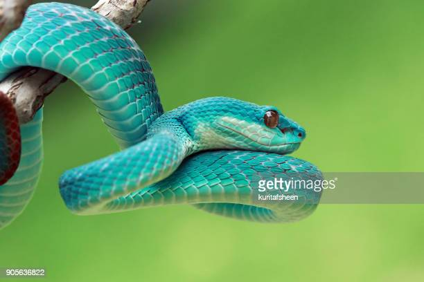 Close-up of a blue viper snake on a branch