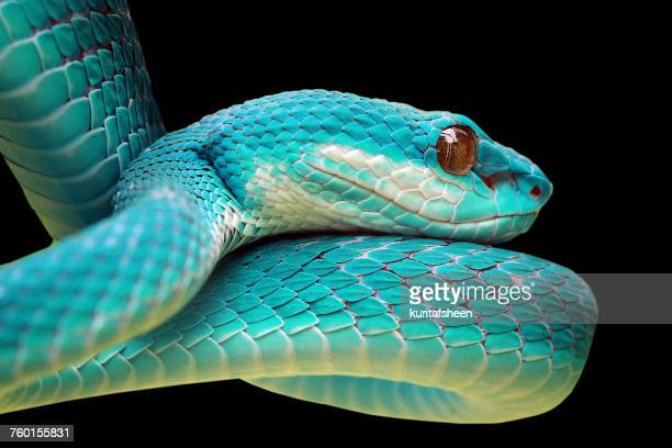 Close-up of a Blue viper snake