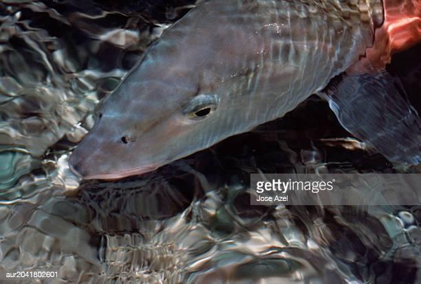 close-up of a bonefish head, florida, usa. - bone fish stock photos and pictures