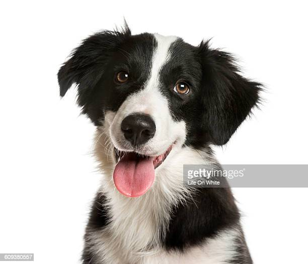 Close-up of a Border Collie isolated on white