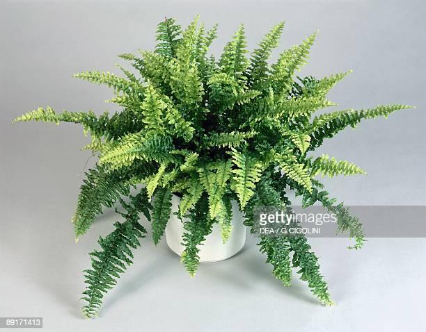 Closeup of a Boston fern in a pot