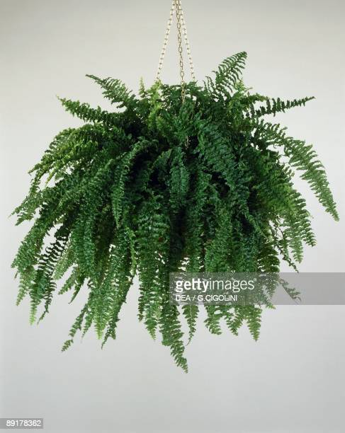 Closeup of a Boston fern plant growing in a hanging basket
