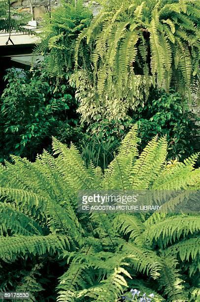 Closeup of a Boston fern plant