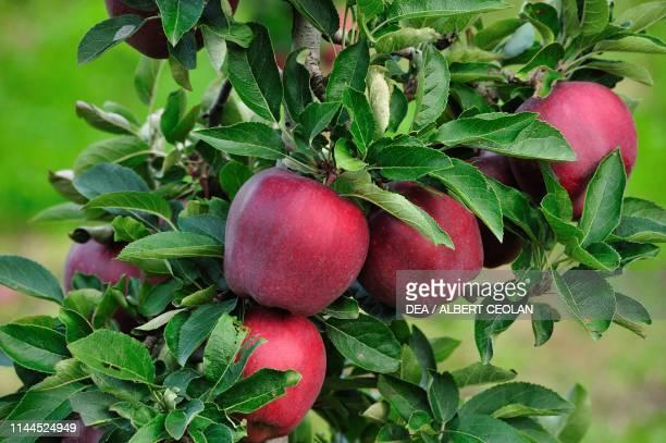 Close-up of a branch loaded with Stark Delicious apples, Piana Rotaliana, Trentino-Alto Adige, Italy.