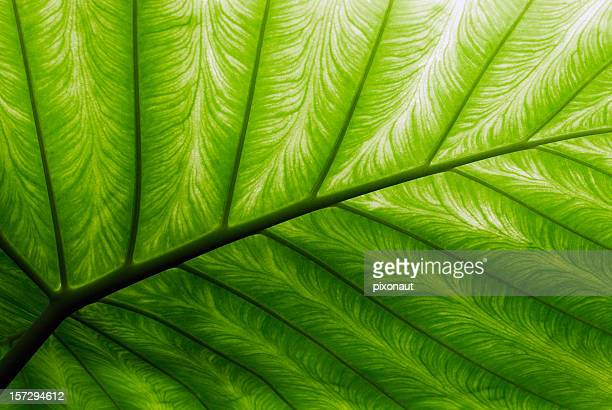 close-up of a bright green palm leaf - natural pattern stock pictures, royalty-free photos & images