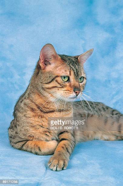 Closeup of a Bronze Egyptian Mau cat