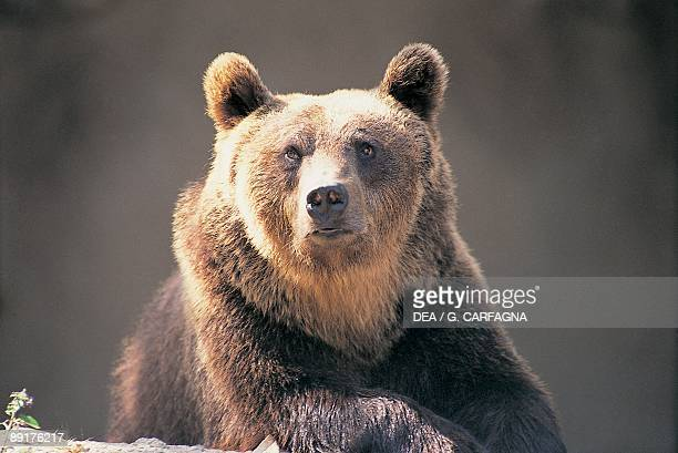 Closeup of a Brown Bear Abruzzo National Park Abruzzi Italy
