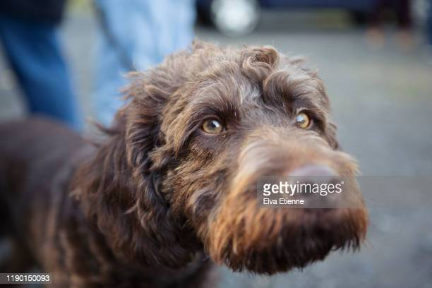 close-up of a brown labradoodle dog with amber coloured eyes - labradoodle stock-fotos und bilder