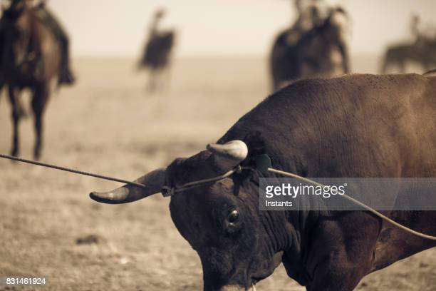 close-up of a bull that has been caught, with cowboy lassos, while trying to escape. - bull stock pictures, royalty-free photos & images