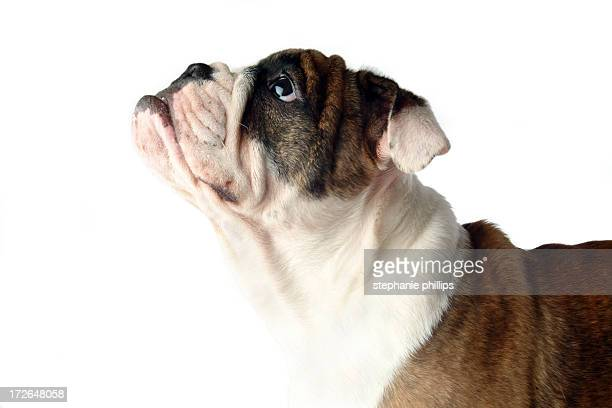 Closeup of a Bulldog Looking Up on a White Background