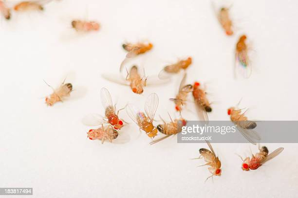 Closeup of a bunch of dead fruit flies