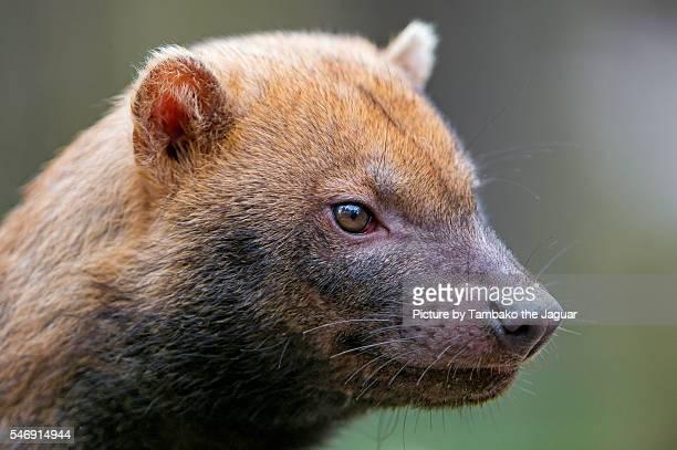 closeup of a bush dog - bush dog stock pictures, royalty-free photos & images