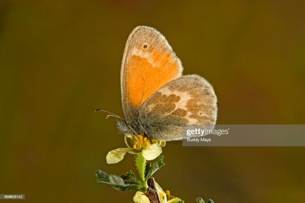 Close-up of a Butterfly pollinating a Wildflower : Stock-Foto