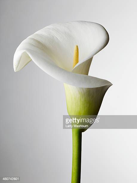 a close-up of a calla lily, stamen visible - 花 ストックフォトと画像