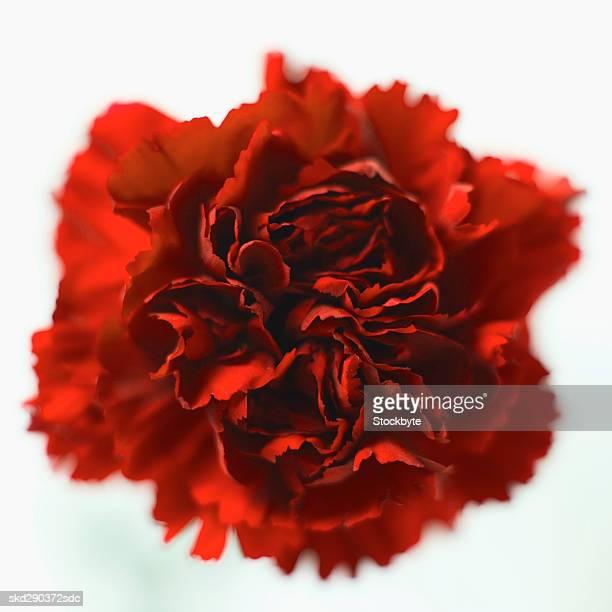 close-up of a carnation - cravo cravo da china imagens e fotografias de stock