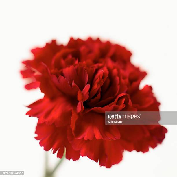 Close-up of a carnation