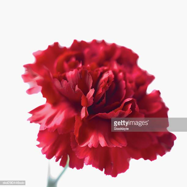 close-up of a carnation - carnation flower stock photos and pictures