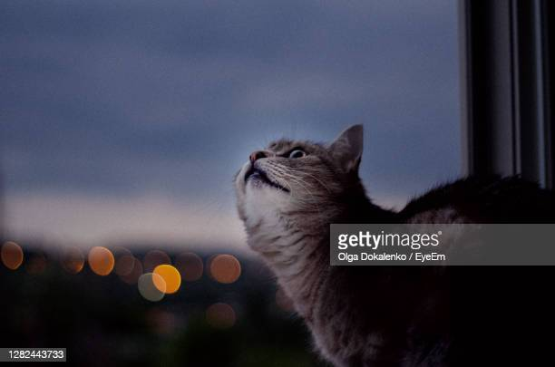close-up of a cat looking at window - watch what happens: live stock pictures, royalty-free photos & images